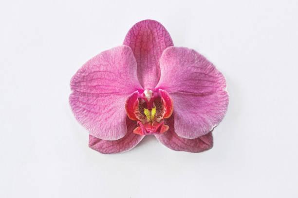 Nahaufnahme einer rosa Orchideenblume auf weißem Hintergrund – Foto