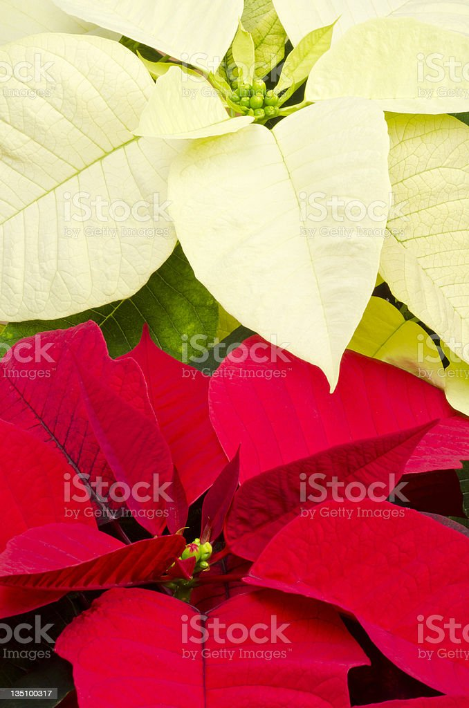 Close up of one red and one white poinsettia flower heads. stock photo