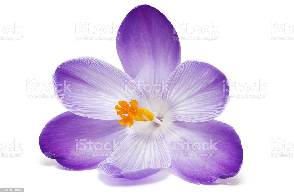 Close up of open purple crocus with orange stamen