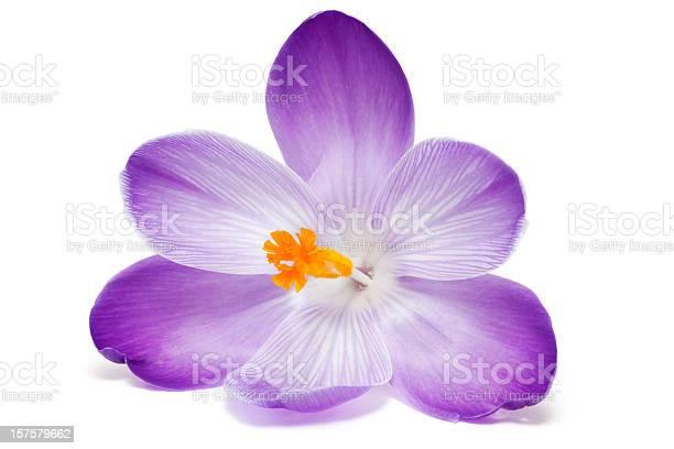 Close up of open purple crocus with orange stamen picture id157579662?b=1&k=6&m=157579662&s=612x612&h=bqfwwpuholidbjoon7utv4vxruqwi2etqul 7d48m0k=
