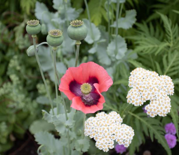 Nahaufnahme von offenem roten schwarzen Mohn im Blumenbeet. – Foto