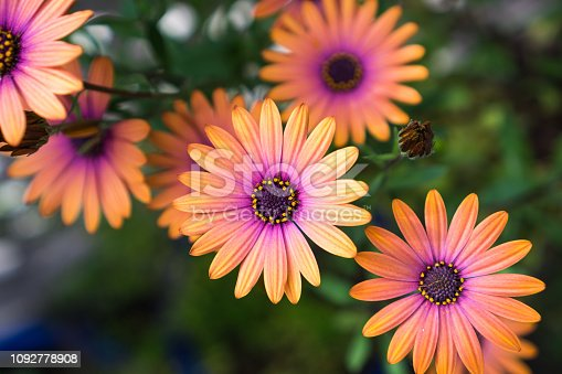 Close up of Orange African Daisy (Osteospermum)