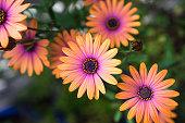 クローズ アップのオレンジ色のアフリカ デイジー (Osteospermum)