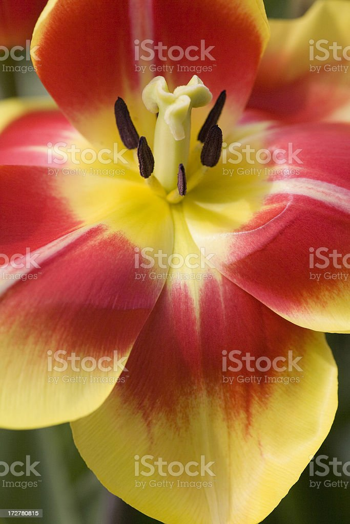 Close up of orange and yellow variegated tulip with stamen stock photo