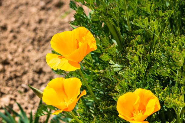 Nahaufnahme von orangen kalifornischen Mohnblumen in einem Garten, – Foto