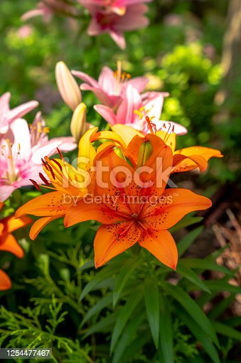 Close up of orange colored day lily flowers and green leaves with bright sunlight and harsh dark shadows in a flower bed.
