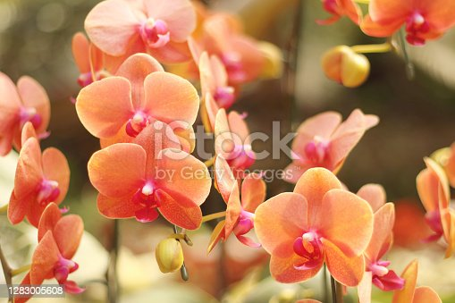 Close up of orange phalaenopsis orchid flowers is blooming in the garden.