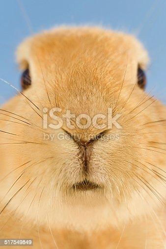 istock Close up of orange rabbit whiskers 517549849