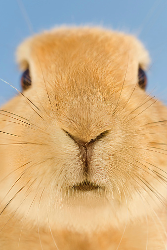 istock Close up of orange rabbit whiskers 517549849