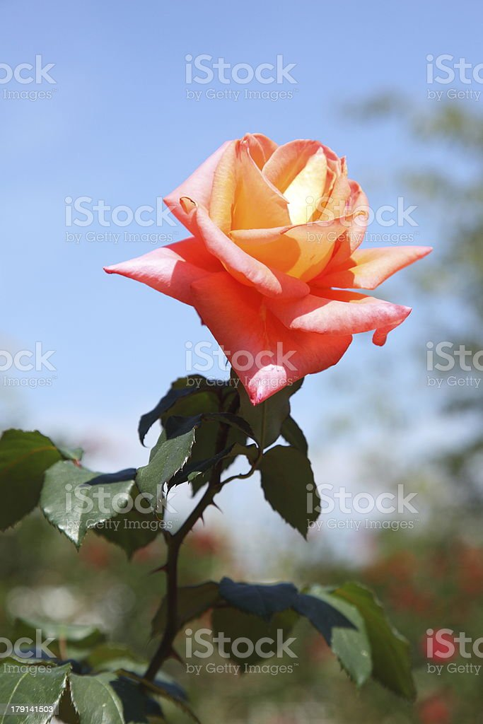 Close up of orange rose royalty-free stock photo