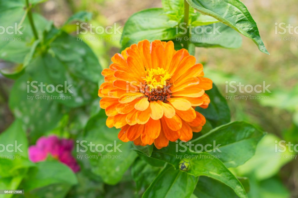 close up of Orange zinnia flower  with green background - Royalty-free Beauty Stock Photo