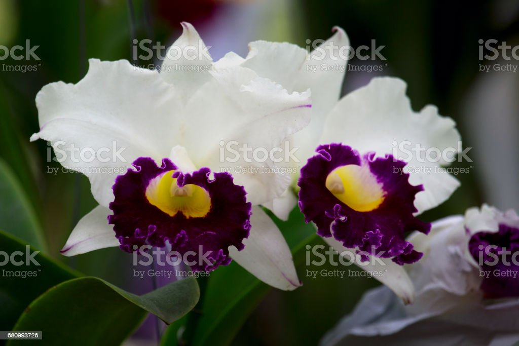 Close up of Orchids in the Garden , garden flowers and exhibited at the fair flowers , in the botanical garden in the exhibition orchids royalty-free stock photo