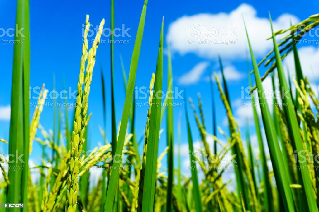 close up of organic rice produce grain in the rural rice paddy fields with blue sky and cloud at countryside of north region of thailand in sunny day. organic agriculture and organic food concept. stock photo