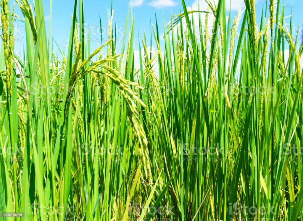 close up of organic rice produce grain in the rural rice paddy fields at countryside of north region of thailand in rainy season. organic agriculture and organic food concept. stock photo