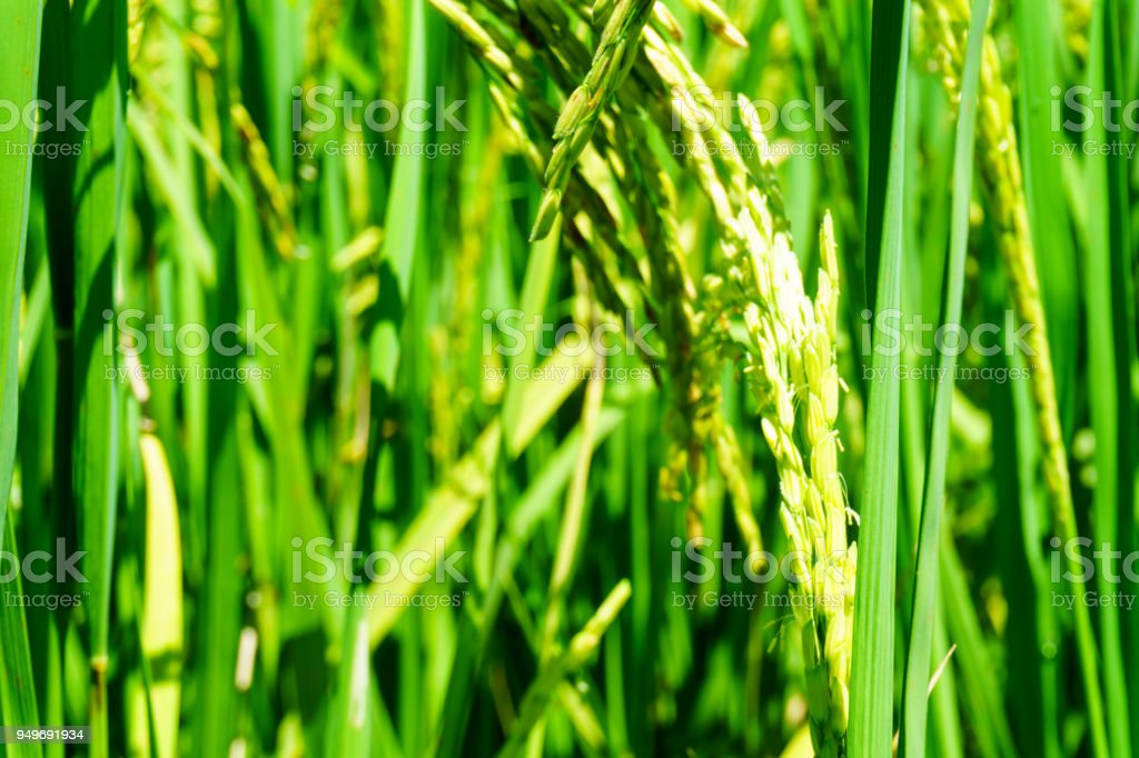 close up of organic rice produce grain in the rural rice paddy fields at countryside of north region of thailand in rainy season. organic agriculture or organic food concept. stock photo