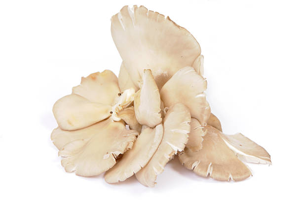Close up of oyster mushrooms placed over white background Isolated Food mushrooms: oyster mushrooms isolated on white background stock pictures, royalty-free photos & images