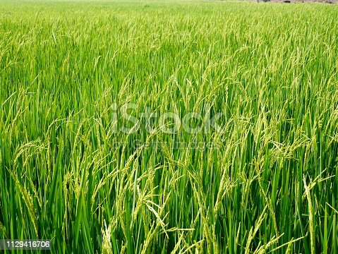 istock Close up of paddy green rice field 1129416706