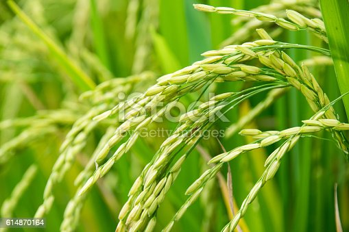 istock close up of paddy green rice field 614870164