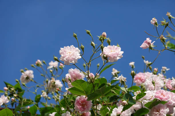 Close up of pale pink blossoms of rambler or climbing roses against picture id1247017037?b=1&k=6&m=1247017037&s=612x612&w=0&h=ircfqjue0a 9vyp1vwix9cothsig 3yr9y4cajcaonq=