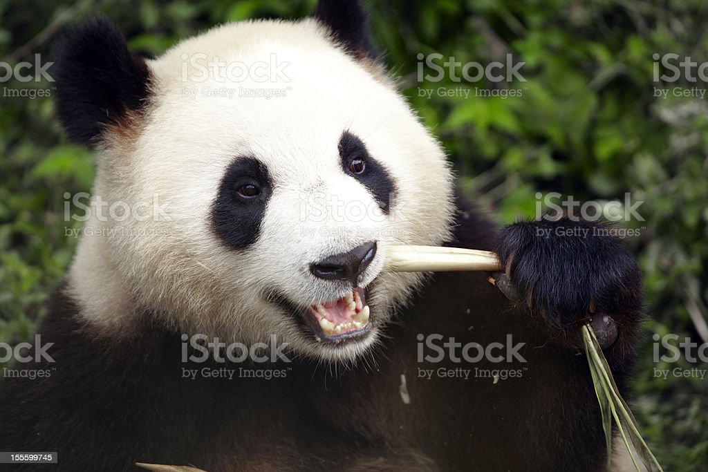 close up of panda eating stock photo