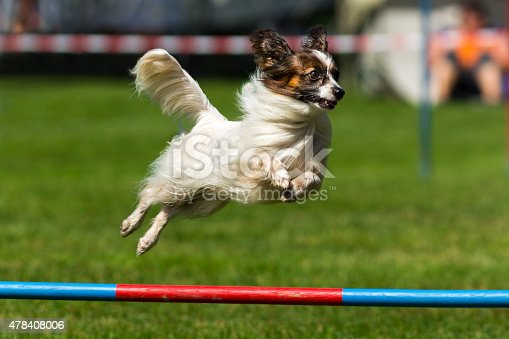 Close up of a papillon dog on an agility course. The dog is jumping over the high jump obstacle. Despite of its small size it looks very determined and elegant. The straight, long, fine  white coat has extra frill on the chest, ears, legs and the tail. The color mask on the head is black an brown. The Papillon is a very intelligent and self-assured dog that has a very easy time learning new tricks.