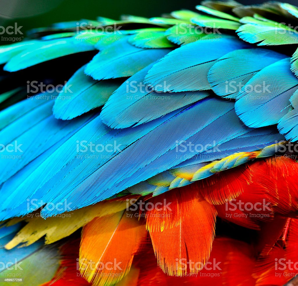 Close up of Parrot and Macaw bird feathers stock photo