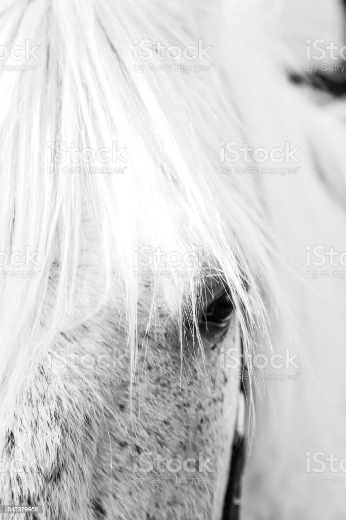 Close up of part of the face of a grey mare, focused on the eye. White horse's eye close up stock photo