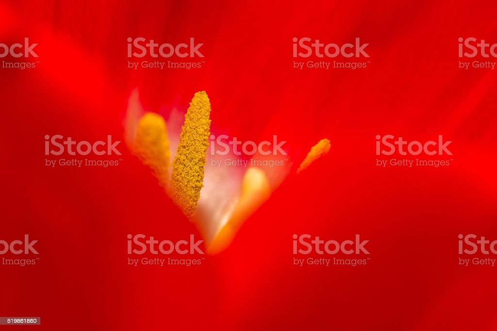 Close up of part of tulip flower stock photo