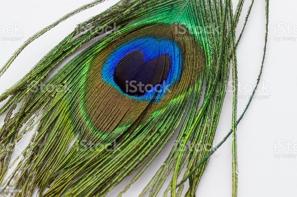 Close up of Peacock Feather on White Background stock photo