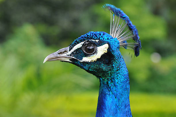 close up of peacock stock photo
