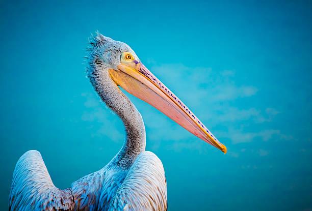 закрыть вверх из пеликан в голубой воде фон - пеликан стоковые фото и изображения