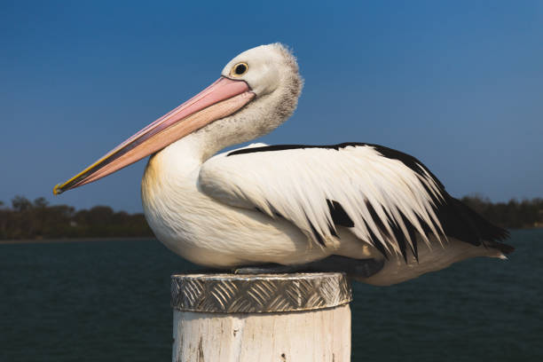 Close up of pelican resting on jetty pylon by river in Australia stock photo