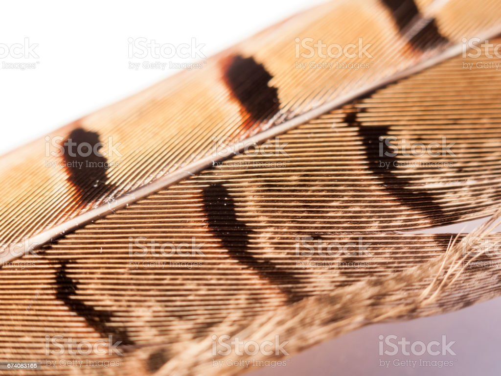 close up of pheasant feather with pattern pretty and texture royalty-free stock photo