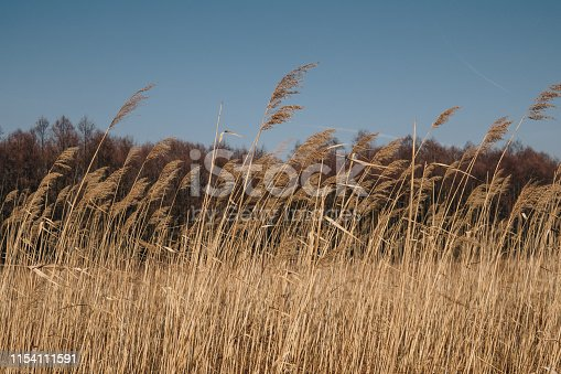 close up of phragmites over clear blue sky
