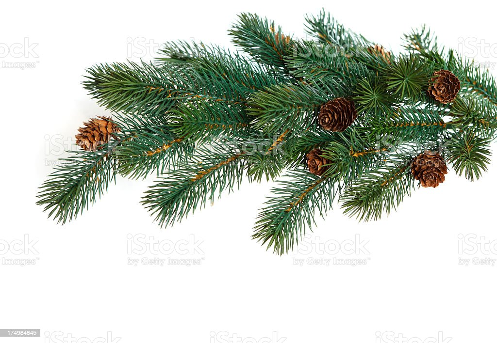 Close up of pine branch with cones on white background royalty-free stock photo