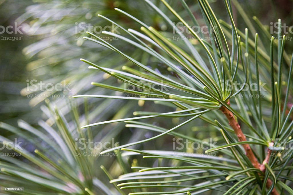 Close up of pine needles stock photo