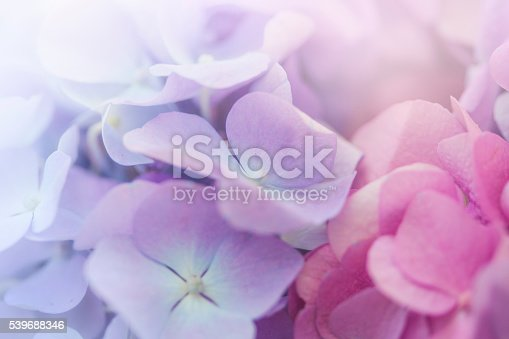 Close up of Pink  and Blue Hydrangea flower