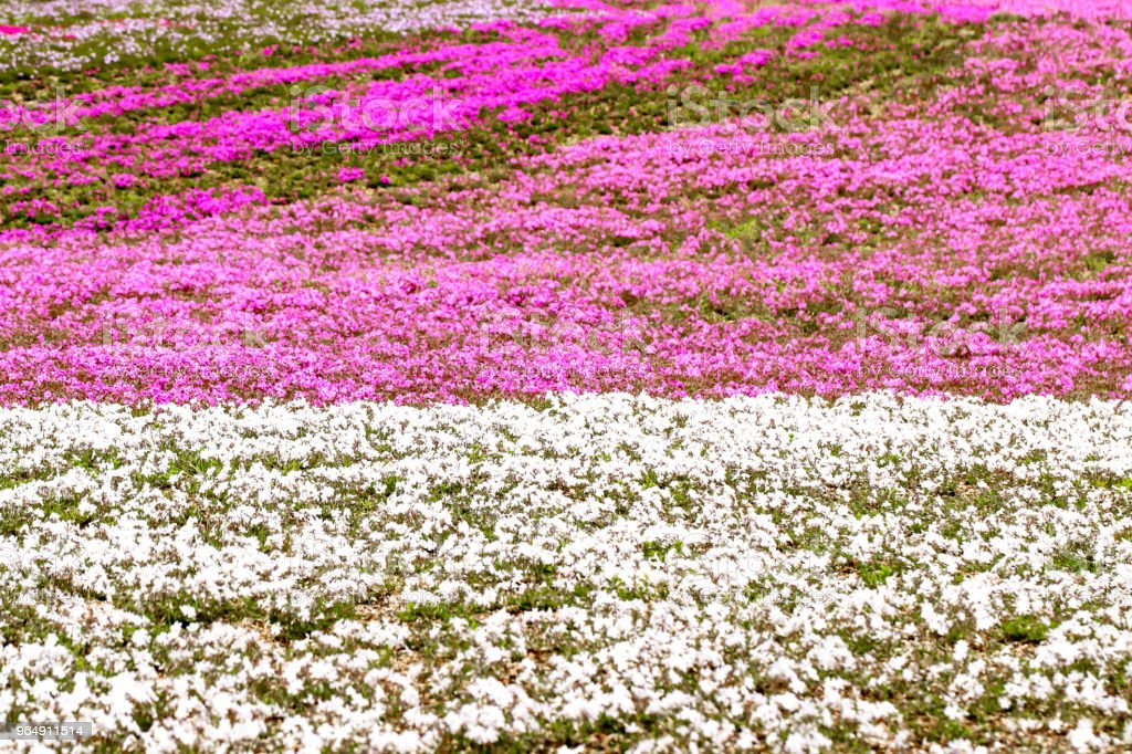 Close up of pink and white moss foreground  Japan royalty-free stock photo
