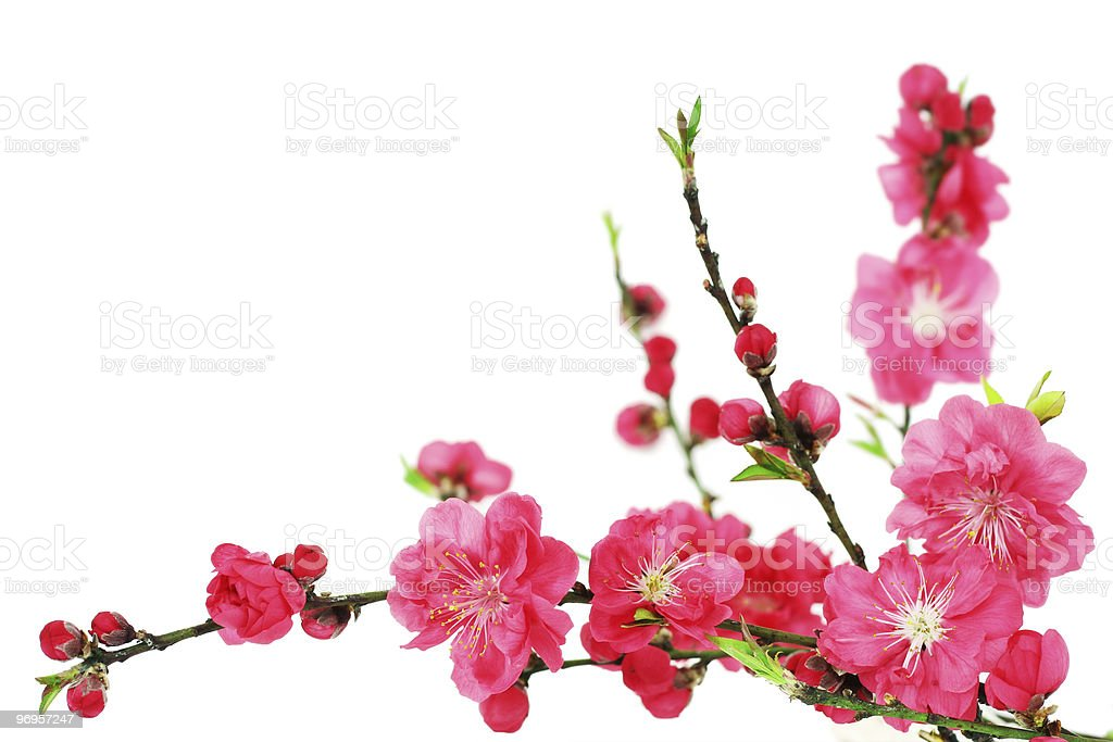 Close up of pink cherry blossoms on a white background stock photo