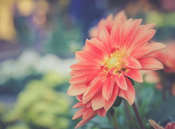 Close-Up de dálias rosa flor - foto de acervo