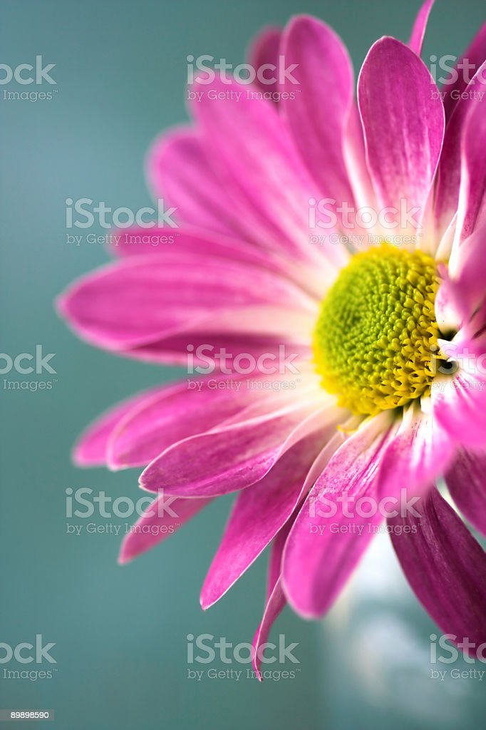 Close up of Pink daisy flower royalty-free stock photo