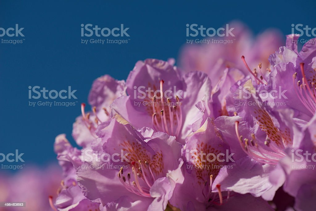 Close up of pink flowers of Rhododendron (Roseum Elegans) stock photo