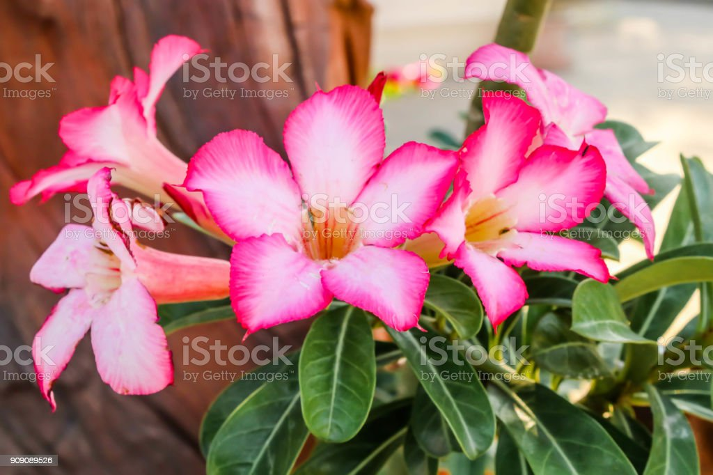 Close up of pink Impala Lily flowers,Impala Lily,Desert rose flower from tropical climate stock photo