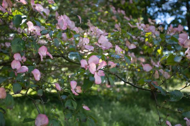 Nahaufnahme von rosa verlassen Cornus florida blühende Dogwood – Foto