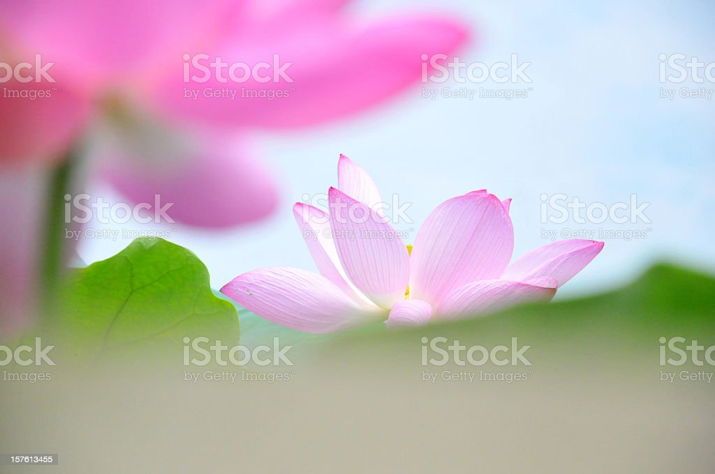 Close up of pink lotus flowers royalty-free stock photo
