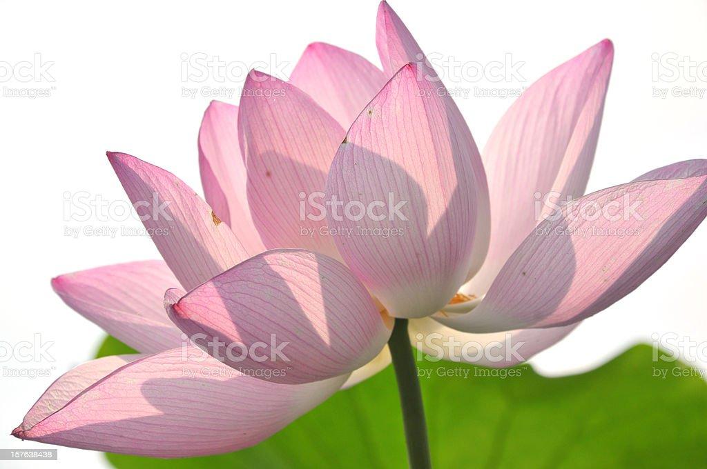 Close up of pink lotus royalty-free stock photo