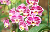 Close up of pink orchids bouquet with natural background, beautiful blooming orchid flower in the garden.