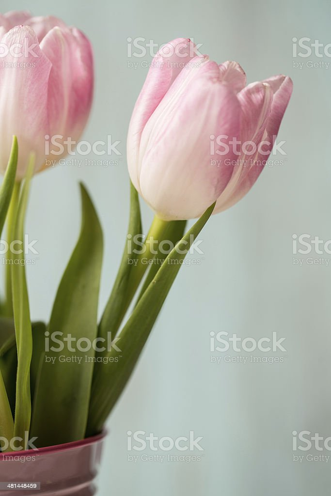 Close up of Pink Pastel Tulip stock photo