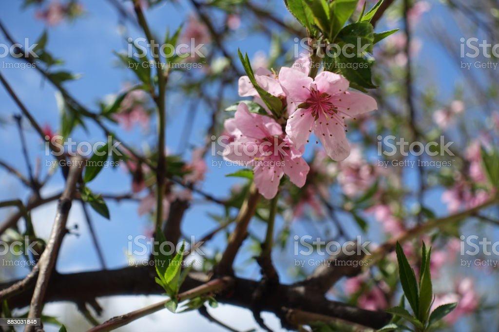 Close up of pink peach bloom in spring stock photo