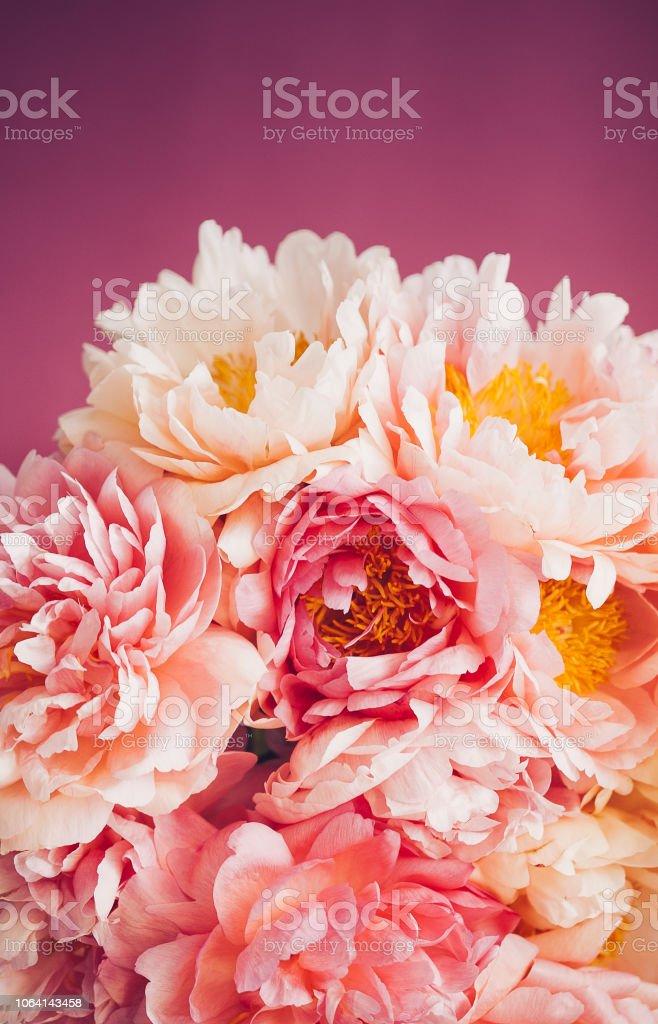 Nahaufnahme von rosa Pfingstrose auf rosa Hintergrund – Foto